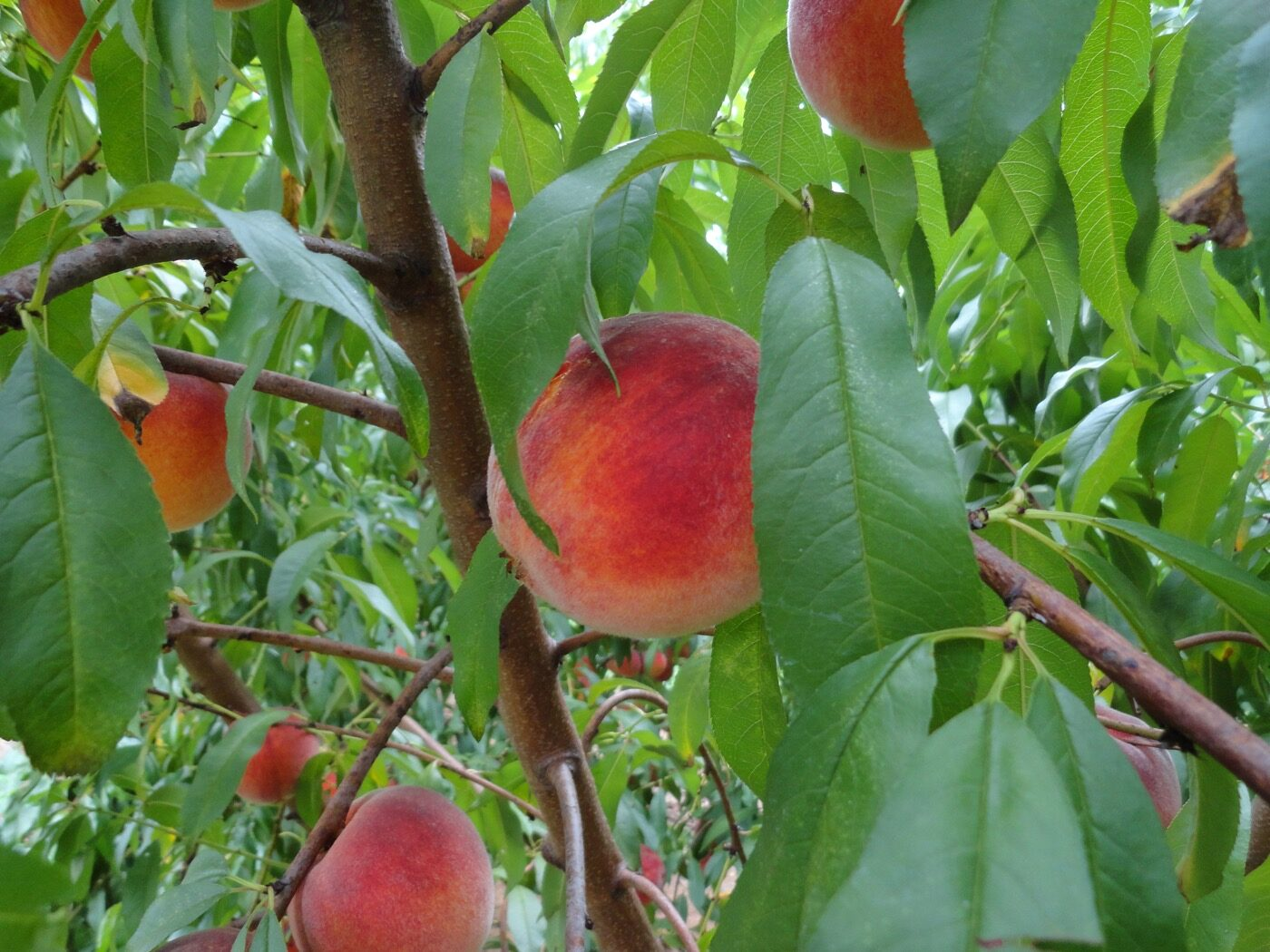 Georgia's peach crop is rebounding after two down years